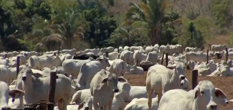 Preço do boi gordo em Rondônia: veja a cotação divulgada pela Emater
