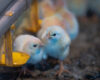 Atenção ao aquecimento é essencial para o sucesso da avicultura, especialmente na fase inicial